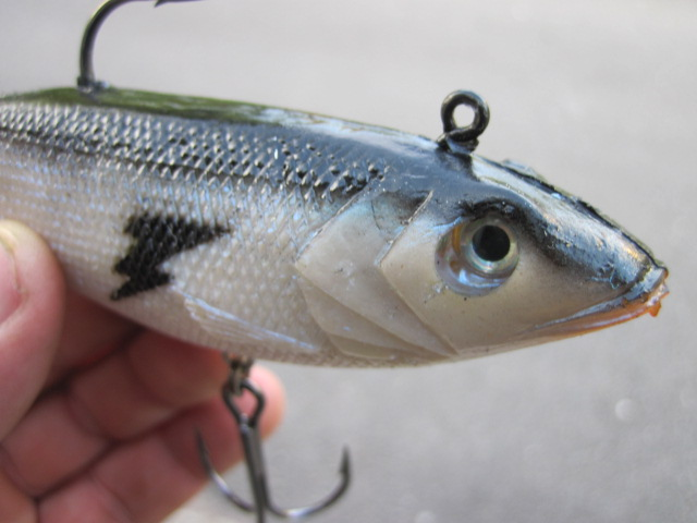 Giant tail Seeker Shad (1)