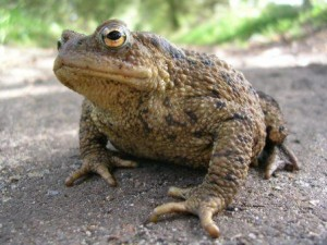 crapaud commun photo John-Baker